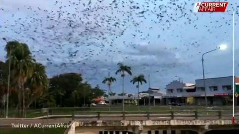 Una plaga bíblica: un tornado de murciélagos invade ciudad en Australia