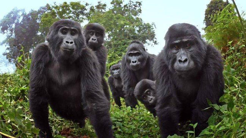 Esto es lo que hacen los gorilas de montaña cuando nadie los mira
