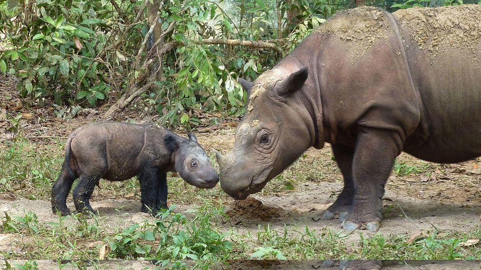 Los rinocerontes de Sumatra, a punto de extinguirse por la medicina China