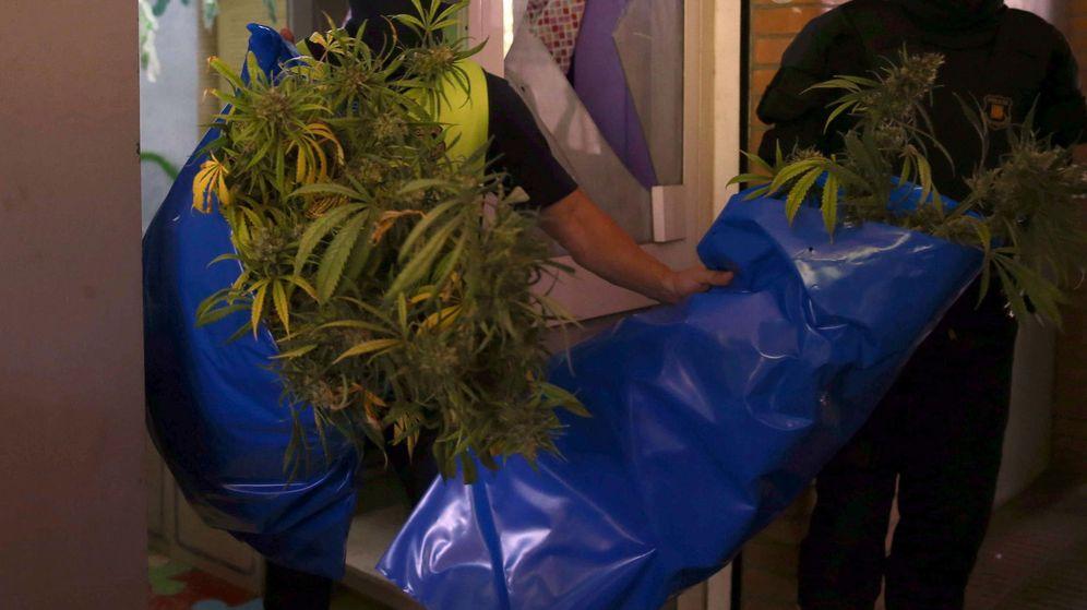 Foto: Los agentes se incautaron de más de 200 plantas de marihuana (EFE/Toni Albir)
