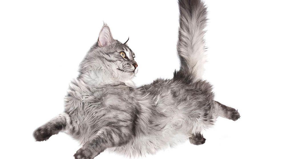 Cómo hacen los gatos para caer de pie sin violar las leyes de la física