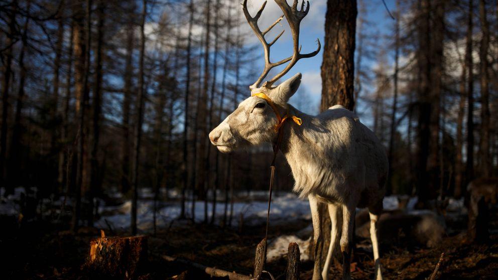 La lucha identitaria de los pastores de renos de Mongolia