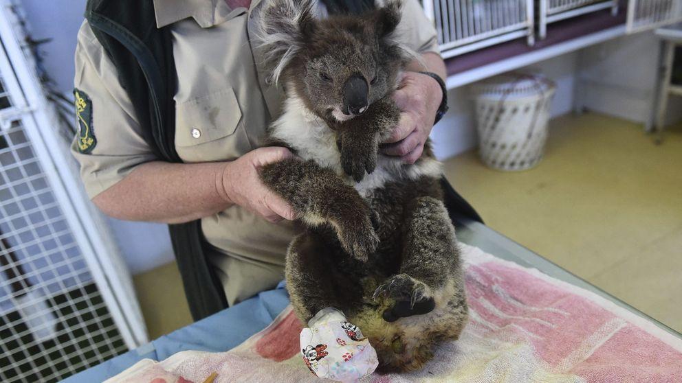 El koala rescatado del fuego en Australia se reúne con su salvadora