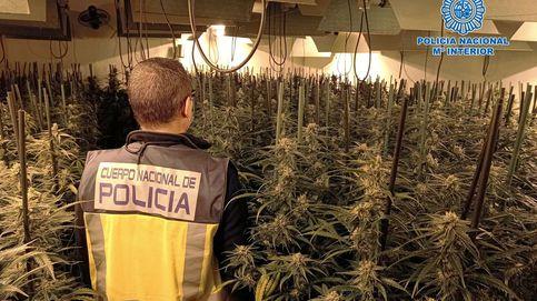Cerca de 15.000 plantas de marihuana incautadas y 25 detenidos en Alcoy