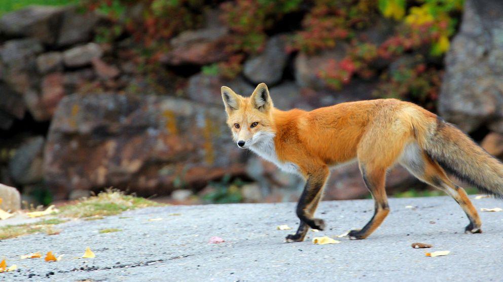 Los zorros rojos de Galicia, mensajeros y víctimas de la contaminación