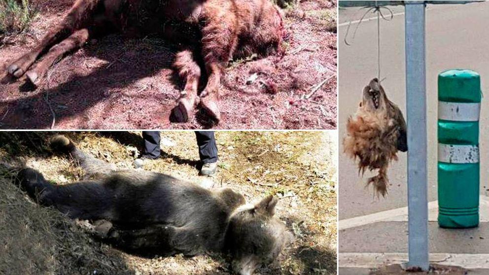 Bisontes, lobos y osos: España no es país para especies protegidas