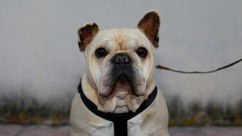 Perros de cara plana: son adorables, pero tienen muchos problemas de salud