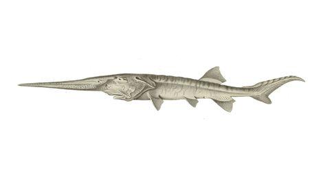 Se extingue el 'Psephurus gladius', el pez remo chino que medía hasta siete metros