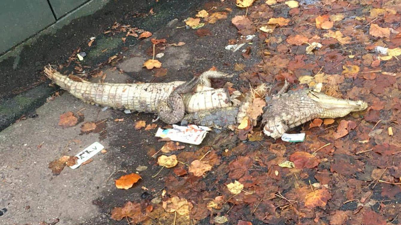 Foto: El cuerpo del cocodrilo apareció cortado por la mitad en mitad de la acera. (Foto: Facebook)