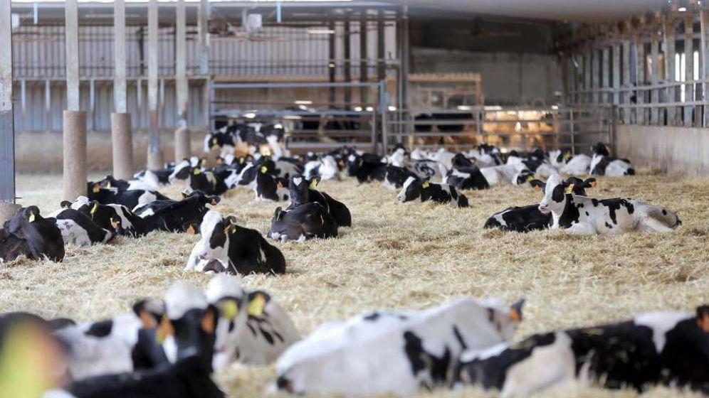 Foto: Vacas en una ganadería. (EC)