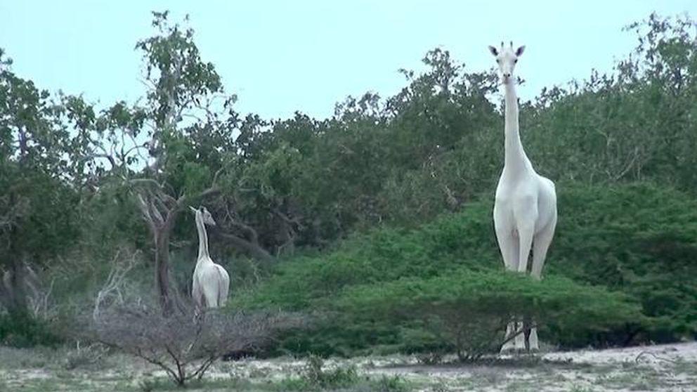 Graban por primera vez unas extrañas jirafas blancas en un parque de Kenia