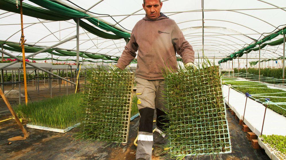 Foto: Bene carga dos bandejas de brotes de puerros para sembrar