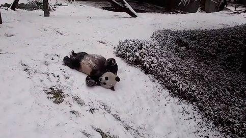 Vídeo   Los pandas del zoo de Washington se divierten como niños con la nieve