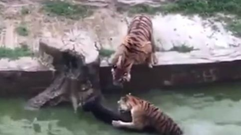 Un zoo de China alimenta a sus tigres con un burro vivo