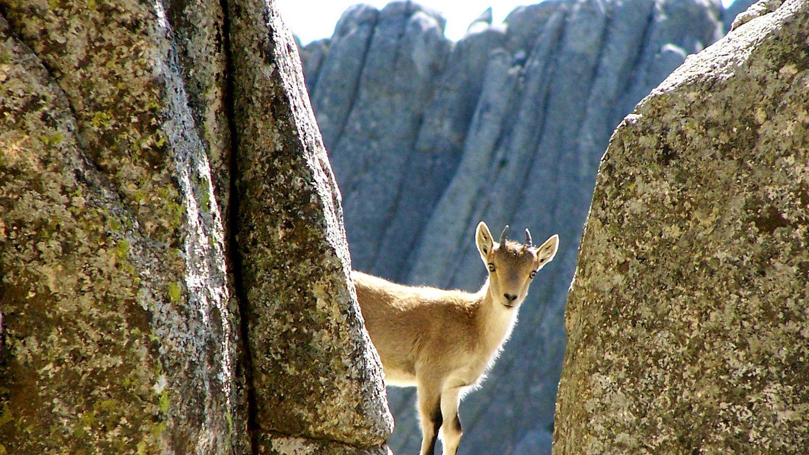 Foto: Cabra montesa en la sierra de Madrid / Álvaro Oporto (Flickr)