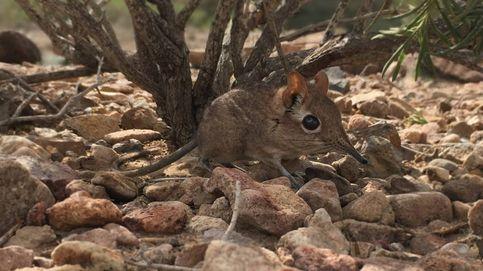 Encuentran a este pequeño mamífero que se daba como extinguido desde hace 50 años