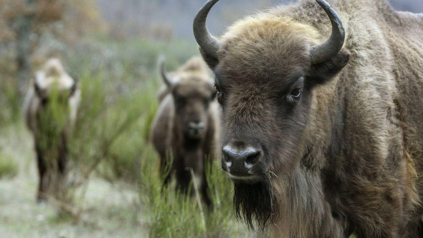 Foto: Un bisonte ataca a un hombre y, tres meses después, a su novia. (EFE)