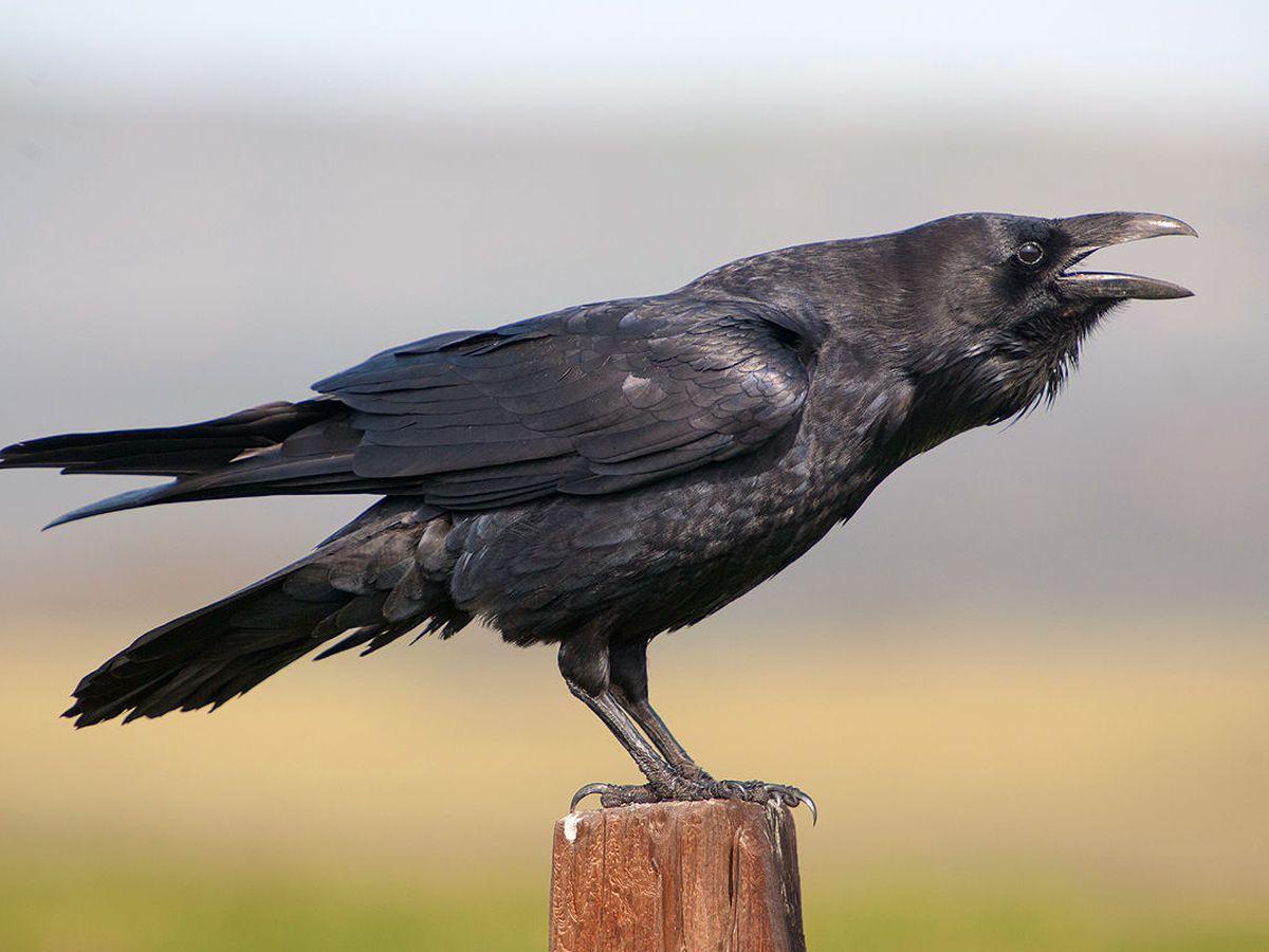 Foto: Un cuervo