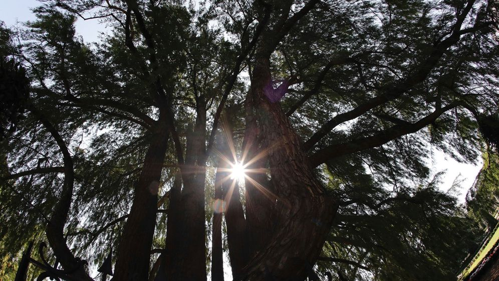 Foto: Vista del ahuehuete del madrileño Parque de El Retiro que tiene el honor de ser el árbol de jardín más antiguo de la capital. (EFE)