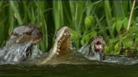 Una familia de nutrias idea una estrategia para cazar un caimán