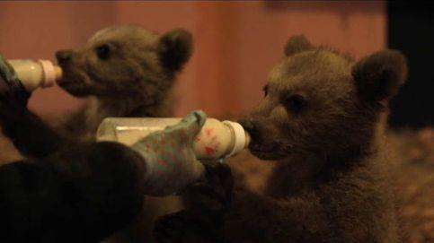 Los últimos biberones de los oseznos Bradley y Cooper
