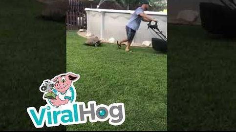 La tortuga que persigue a su dueño mientras corta el césped