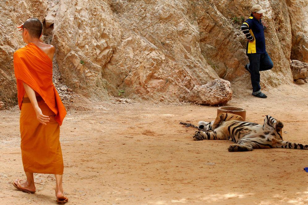 Foto: Un monje budista pasa junto a un tigre mientras funcionarios tailandeses desmantelan el polémico Templo de los Tigres, en junio de 2016. (Reuters)