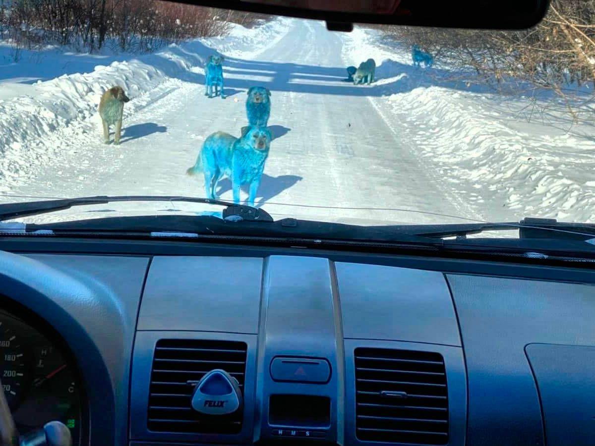 Foto: Las imágenes de los perros azules se han hecho virales en las redes (Twitter)