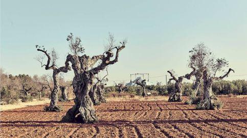 Experimentos a contrarreloj contra el ébola del olivo: virus y drones, último recurso