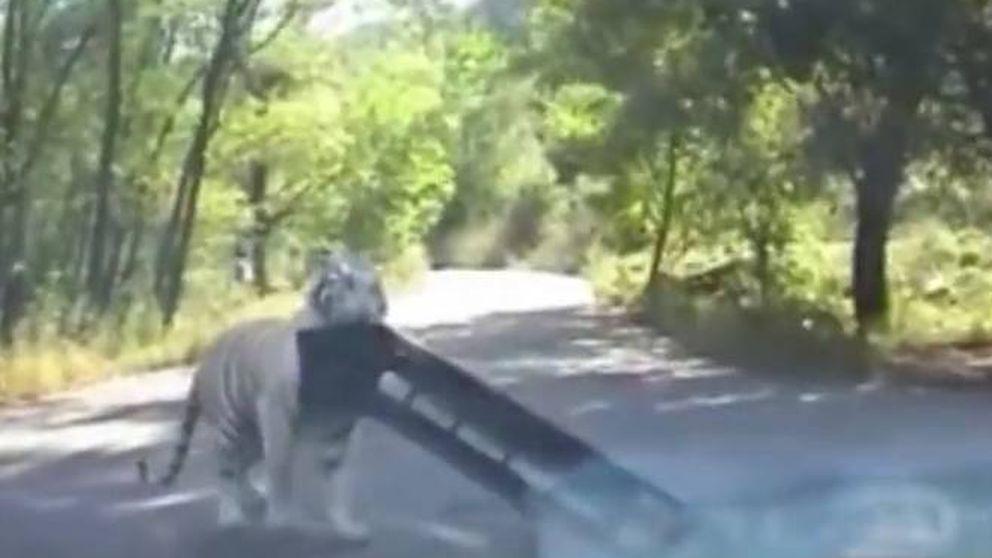 Vuelve a pasar: nuevo ataque de un tigre en el zoo de Pekín