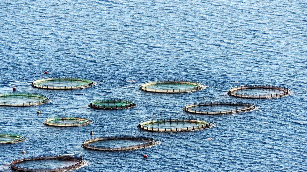 Pescado salvaje o de piscifactoría: cómo diferenciarlos
