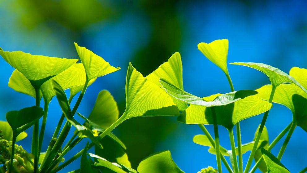 Resuelto el misterio del árbol casi inmortal: así logra el ginkgo biloba vivir 1.000 años