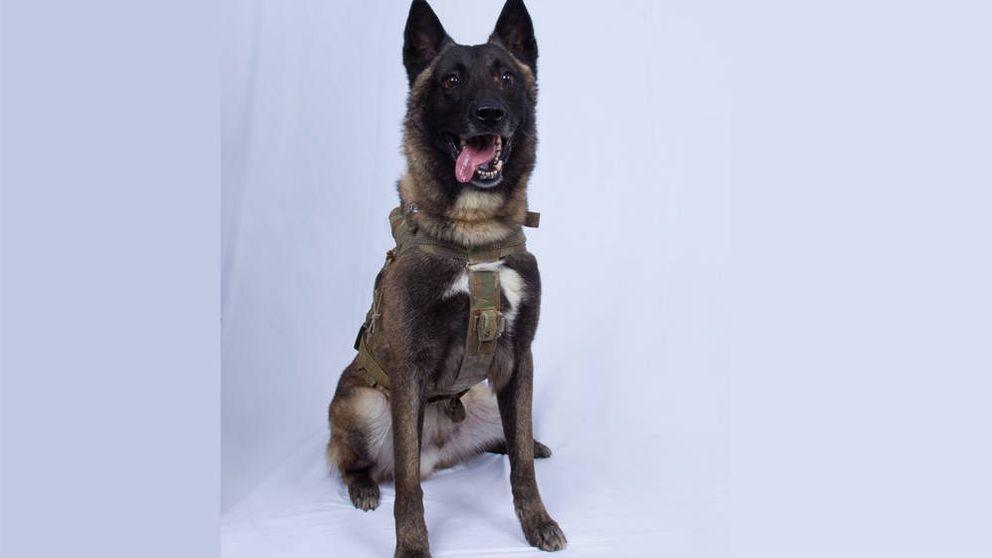 Este es el perro que ayudó a capturar a Abu Bakr Al Baghdadi, el líder del ISIS