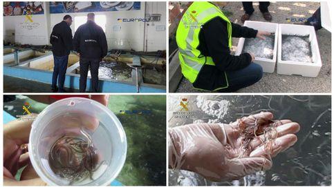 Europa contra el tráfico de angulas: 4.000 kilos incautados y 48 detenidos