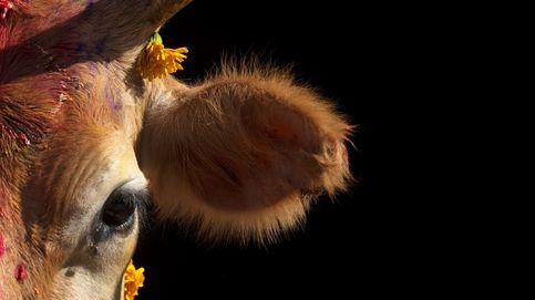 El buey más grande del mundo vive en Guipúzcoa