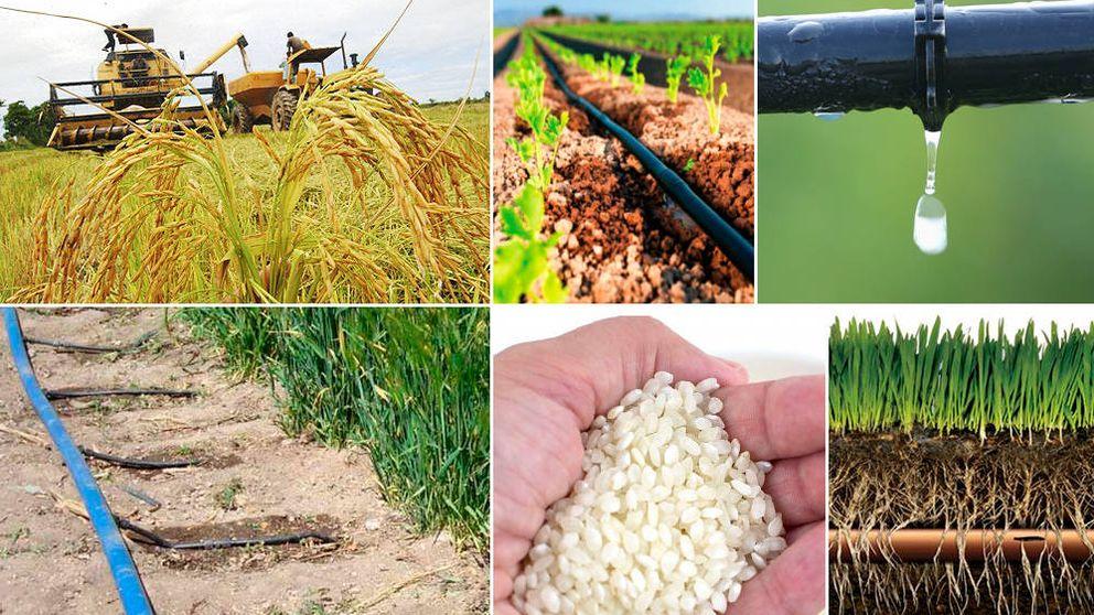 La próxima revolución agrícola se ensaya en Girona: cultivan arroz con riego por goteo