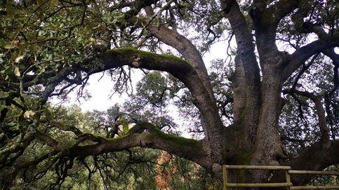 Una encina aragonesa opta a ser el Árbol Europeo del Año