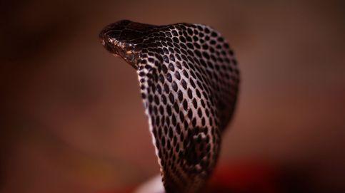Científicos dan el primer paso para un antídoto contra la picadura de la cobra