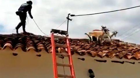 El rescate más inesperado: los bomberos bajan de un tejado a un rebaño de cabras