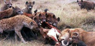 Post de Leones, hienas y rinocerontes habitaron los montes de Lugo hace 110.000 años