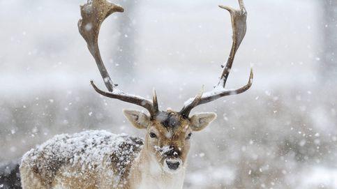 Rescatan a un ciervo que se quedó atrapado en la nieve tras una avalancha
