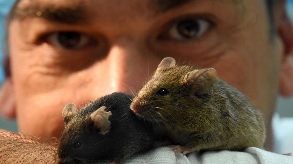 Foto: Un investigador observa a los ratones. (Universidad de Melbourne)