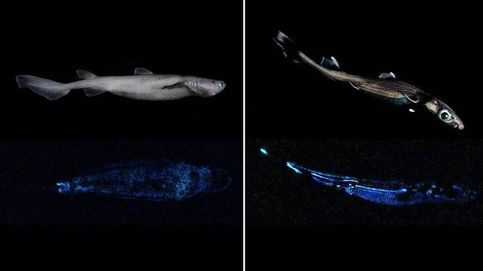 Encuentran en Nueva Zelanda el tiburón luminoso más grande del mundo con casi 2 m