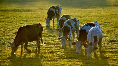 Un grupo de vacas ataca a excursionista cuando paseaba por Ordesa