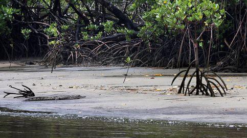 Cocodrilo marino, el más grande de los reptiles