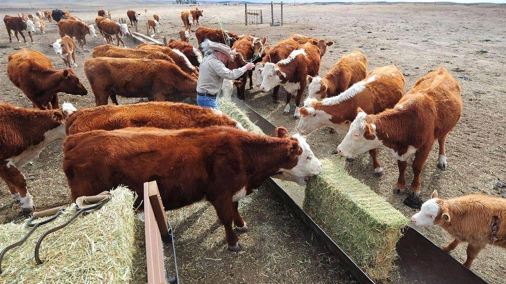 Foto: La homeopatía no ha demostrado su eficacia en el tratamiento del ganado