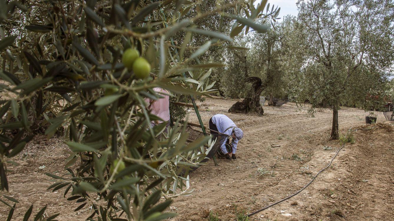 El verdeo arranca con los productores en vilo por la demanda 'antidumping' de EEUU