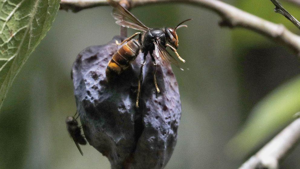 Caza a la avispa asiática: 3.000 ejemplares capturados en A Coruña