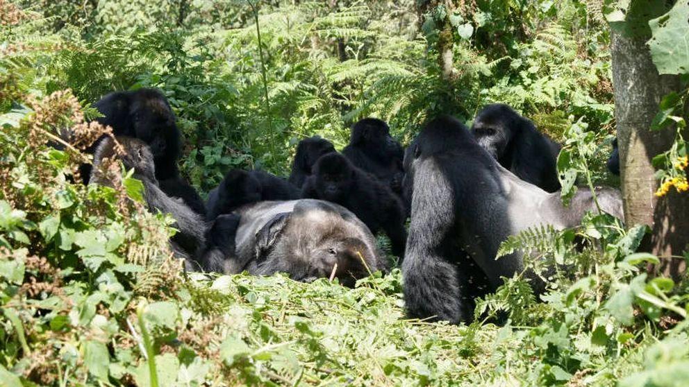 Los gorilas también sufren cuando muere un ser querido (y hasta un desconocido)