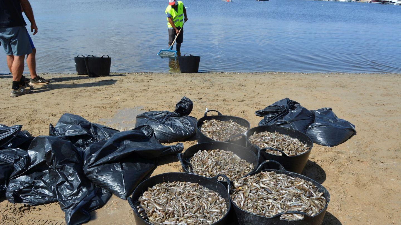 Recogida de peces muertos en el Mar Menor (EFE)